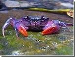 На Филиппинах нашли фиолетовых крабов
