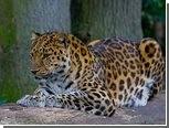 В Приморье создан заповедник для леопардов