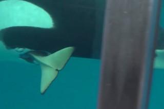 В SeaWorld родился последний детеныш косатки