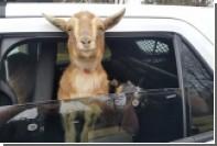 В США полицейский задержал двух коз