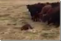 Канадский бобер повел за собой 150 коров