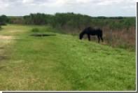 Дикая лошадь напала на аллигатора во Флориде