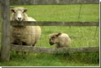 Британский овцевод обвинил рейверов в черной магии и жертвоприношении