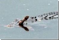 В Австралии крокодил утащил домашнюю собаку