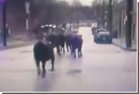 Зоозащитники собрались спасти сбежавших с бойни коров