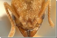 Новый вид «грибных фермеров»-муравьев назвали в честь Radiohead