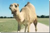 Верблюд объел туристок в Техасе