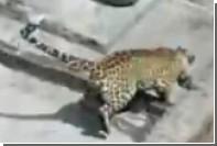 Леопард пять часов бесчинствовал на улицах индийского города