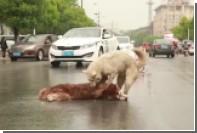 В Китае собака попыталась вернуть к жизни погибшего под колесами сородича