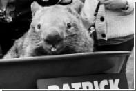 Умер самый старый в мире вомбат
