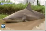 Акула стала жертвой наводнения в Австралии