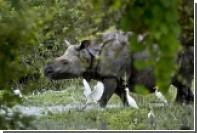 Отпущенный на свободу непальский носорог атаковал наездников на слонах