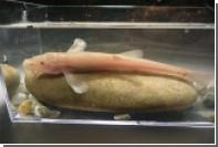 Ученые нашли первую в Европе пещерную рыбу