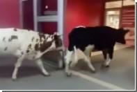 В сургутский магазин пришли четыре коровы