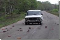 Кубинский залив Свиней пережил нашествие крабов