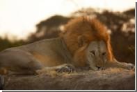 В ЮАР убили больных львов из цирка ради ингредиентов для знахарского зелья