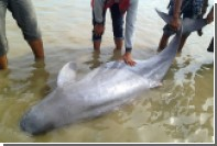 В Шри-Ланке спасли выбросившихся на берег дельфинов