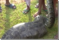 Индийские крестьяне поймали на веревку проглотившего козу пятиметрового питона