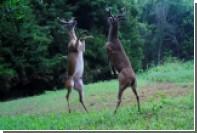 Драку вставших на задние ноги оленей сняли на видео