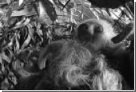 Старейшего ленивца в мире усыпили в Австралии