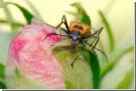 Обнаружен превращающий жуков в зомби гриб-паразит