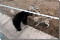 В Ярославском зоопарке на медведя напали волки
