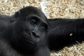 Британский приматолог предсказала скорое вымирание шимпанзе и горилл