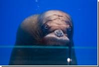 Морж нырнул в пустой бассейн в Приморском океанариуме