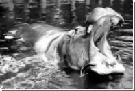В Австралии усыпили старейшую в мире бегемотиху