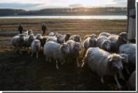 Туристам в Грузии предложили пасти скот