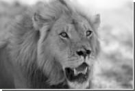 Детеныша убитого льва Сесила застрелили в Зимбабве