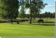 Игривый лось погнался за шведским гольфистом