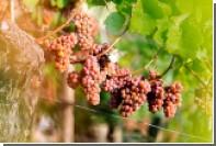 Гостей фестиваля Италии в Москве научат давить виноград и управлять яхтой