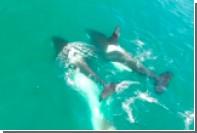 Нападение стаи косаток на кита впервые сняли на видео