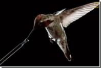 Создаваемые колибри воздушные вихри показали на видео