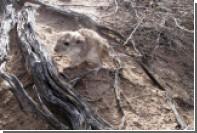 Объяснена аномальная ДНК у аргентинских крыс