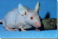 Распространение рака в прозрачной мыши показали на видео