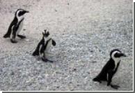 Бразильская армия будет спасать пингвинов