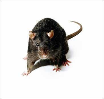 К чему снятся красные сапоги. Описание: К чему снится белая мышь