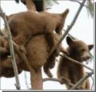 11 медведей одновременно залезли на дерево. Фото