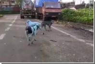 Бездомные собаки на улицах Мумбаи поголубели