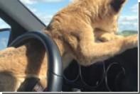 Львенка Моню посадили за руль