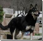 Собака шестой год живет у могилы хозяина. ФОТО, видео