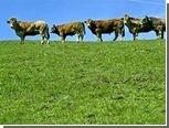 В Забайкалье нашли пропавших без вести коров