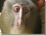 В Конго обнаружили новый вид обезьян