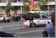 В Москве спасли сбежавшего от полиции лося