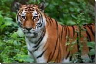 На острове Русский 600 человек побежали ради амурского тигра