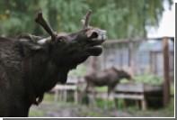 Названы помогающие отгонять лосей в лес слова