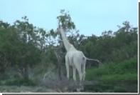 Белые жирафы впервые сняты на видео в кенийском заповеднике