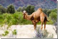 Австралиец прошел 100 километров в поисках помощи после столкновения с верблюдом